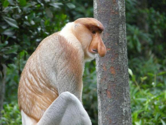 Malaysian Borneo proboscis monkeys