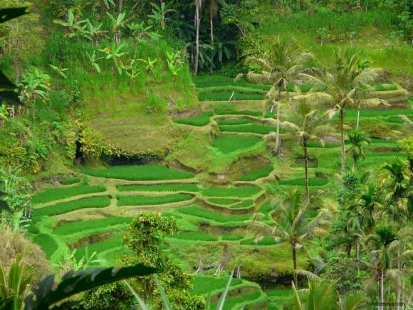 Bali, Indonesia rice terraces
