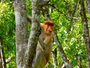 Weekly Photo – Proboscis Monkey, Malaysia