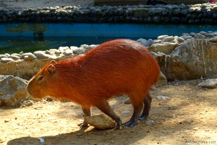what to do in Panama City - capybara