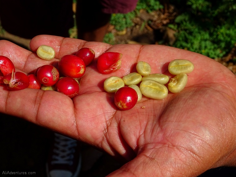 things to do in Panama Boquete coffee tour